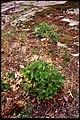 Heuchera richardsonii 2-eheep (5097879370).jpg