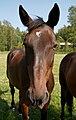 Hevoset kesälaitumella 15.jpg