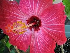 Hibiscus Painted Lady.jpg