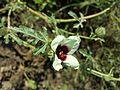 Hibiscus trionum sl10.jpg