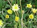 Hieracium pilosella0.jpg