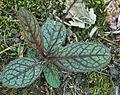 Hieracium venosum leaves.jpg