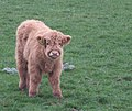 Highland calf - geograph.org.uk - 604720.jpg