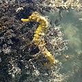 Hippocampus reidi Belize.jpg
