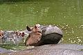 Hippos (Hippopotamus amphibius) (16467433986).jpg