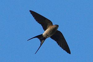 Red-rumped Swallow Cecropis daurica (syn. Hiru...