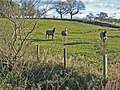 Horses in overcoats, Steel Rigg - geograph.org.uk - 271426.jpg