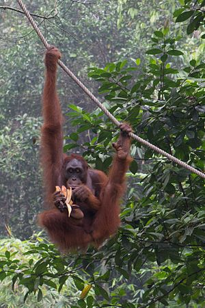 Bornean orangutan - A orangutan peeling a banana with its foot.