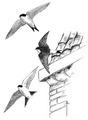 Huiszwaluw Delichon urbica Jos Zwarts 3.tif