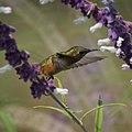 Hummingbird (5053565565).jpg