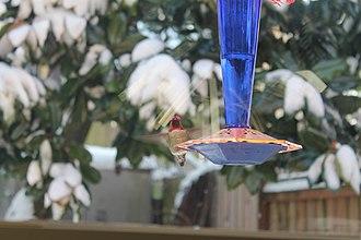 Bird feeder - A hummingbird hovers by a feeder in Portland, OR