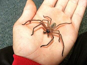 Male Delena cancerides, Huntsman Spider or Avo...