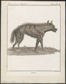 Hyaena striata - 1790-1832 - Print - Iconographia Zoologica - Special Collections University of Amsterdam - UBA01 IZ22200059.tif