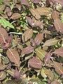 Hydrangea Kiyo-sumi (17145450578).jpg
