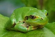 Japanese Tree Frog Hyla japonica