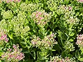 Hylotelephium telephium subsp. telephium Rozchodnikowiec purpurowy 2018-08-12 02.jpg