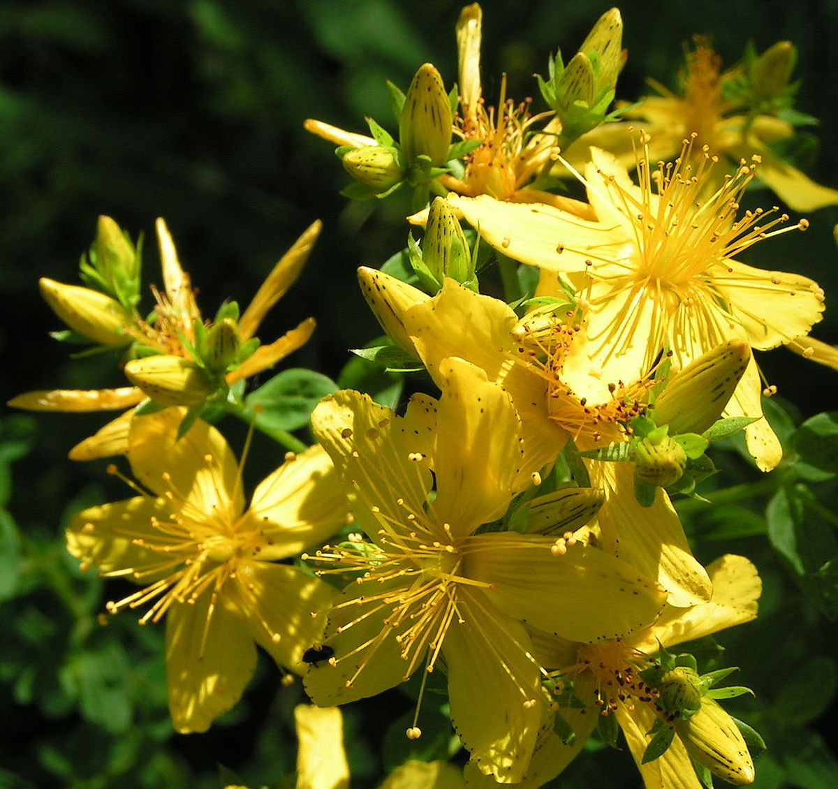 Which Plant Was Native To The New World: Wikipedia, Wolna Encyklopedia