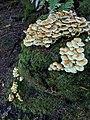 Hypholoma fasciculare 105012541.jpg