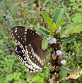 Hypolimnas bolina - Great Eggfly at Thillankeri 11.JPG