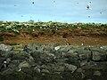 IS - Reykjavik - Höfuðborgarsvæðið - Puffin Island - Puffins - Road Trip - Chordata - Animalia - Fratercula - Alcidae - Charadriiformes - Aves (4889937511).jpg