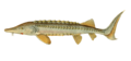 Ichthyologie; ou, Histoire naturelle des poissons (Plate 88) (7064440191)edited.png