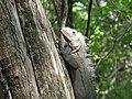 Iguana delicatissima sur un arbre.JPG