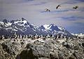 Imperial Shag - Tierra del Fuego - Argentina (13221832754).jpg