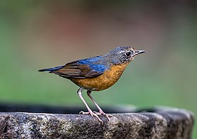 Indian Blue Robin, Sub Adult (39415768244).jpg