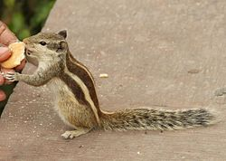 Indian Palm Squirrel pictured in Agra.jpg