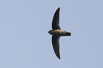 Indian Swiftlet in flight, Thattekad, Kerala, India.jpg