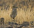 Indian Thick-knee at Rajkot.jpg