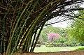Indian thorny bamboo (Bambusa bambos) in the Singapore Botanic Gardens.jpg