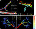 Interscutularis connectome Nerve Fasciculation Pattern and Its Relationship to Axonal Branching.png