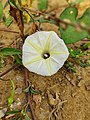 Ipomoea obscura, the obscure morning glory or small white morning glory 2.jpg