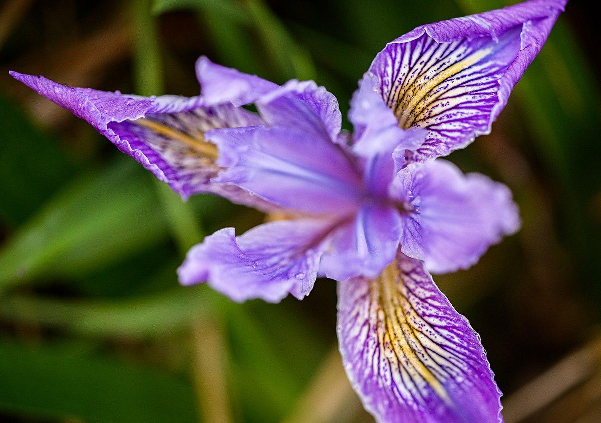 Iris tenax - Wikipedia