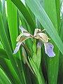 Iris foetidissima-flower-1.jpg