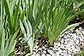 Iris pallida 9.jpg