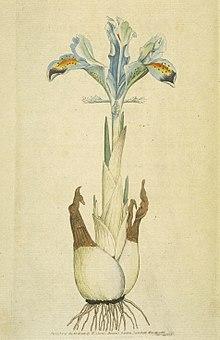 33d9d7023b1523 A member of subgenus Scorpiris: Iris persica, a bulbous iris