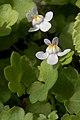 Ivy-leaved Toadflax (Cymbalaria muralis) - Guelph, Ontario.jpg