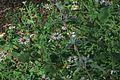 J20151008-0006—Amauria rotundifolia—RPBG (21931887529).jpg