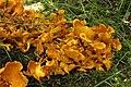 Jack-o'-Lantern Mushroom - Omphalotus olearius (44549714092).jpg