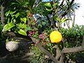 Jardin à Mykonos.JPG
