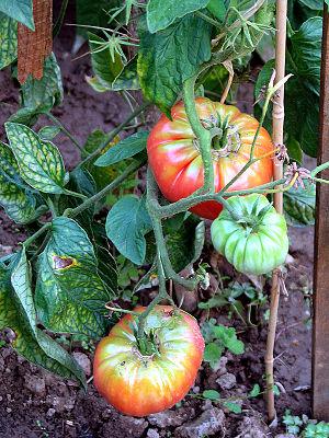 Jardin potager 7 tomates buffle