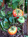 Jardin potager 7 tomates buffle.jpg