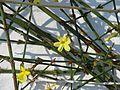 Jasminum nudiflorum - Flickr - peganum (1).jpg