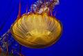 Jellyfish - DSC 2635 (2871850750).jpg