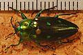 Jewel Beetle (Chrysobothris sexpunctata) (8275160572).jpg