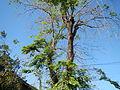 Jf9156Pterocarpus indicus Floridablanca Pampangafvf 05.JPG