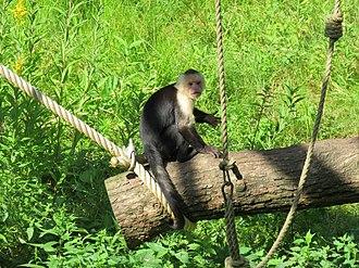 White-headed capuchin - Image: Jibea sapajou capucin apenheul 2016