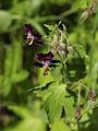 Johnsbach - Nationalpark Gesäuse - Brauner Storchschnabel (Geranium phaeum) II.jpg